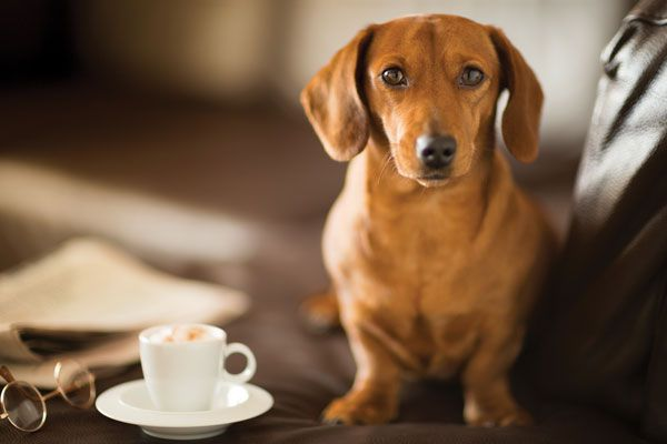 Dachshund coffee date by iStock.