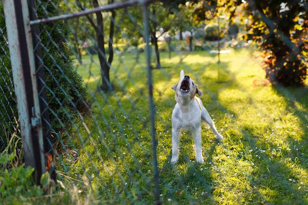A dog howling in a fenced-in yard.