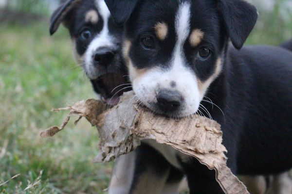 Foster puppies Becky and Bey (now Sascha and Beignet). (Photo by Lisa Seger)