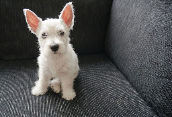 Puppy on couch. Photography by iStock.