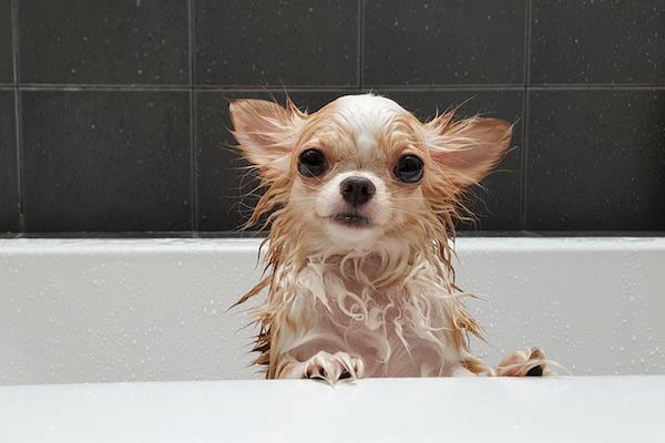 A chihuahua in a bathtub getting shampooed.