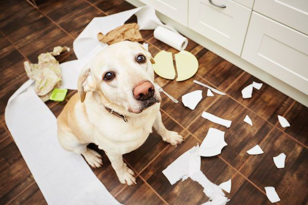 Dog with broken dishes by Shutterstock.