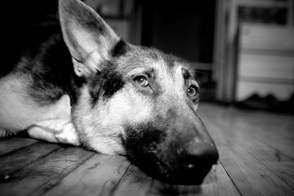 Dog lying on the floor by Shutterstock