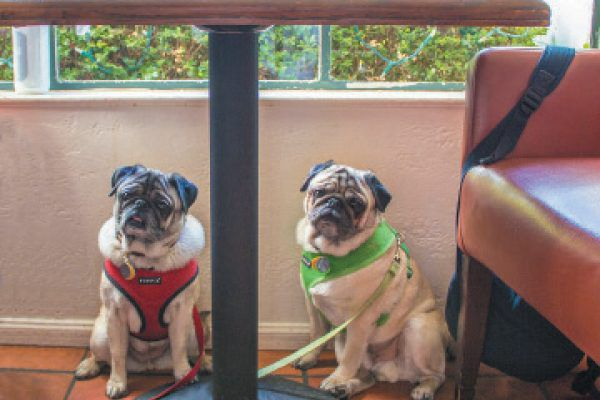 Two pugs in a restaurant.