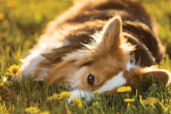 A dog lying in a field of yellow flowers.