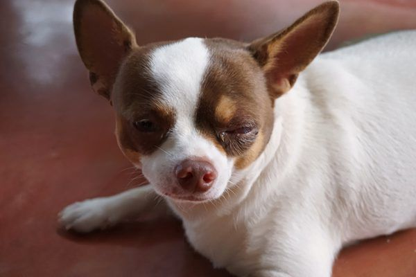 A small dog with eye discharge, eye boogers.
