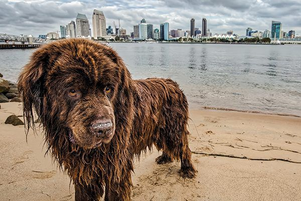 A wet dog on a beach with San Diego, California as his backdrop.
