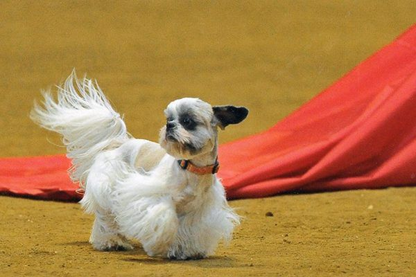 A Shih Tzu takes a trot indoors. Photography by Michael Shea-Zackin, Courtesy Barry Rosen Photography.