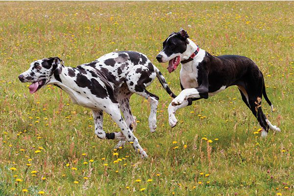 Two Great Danes running in a field together.