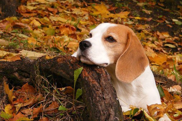 A beagle in the fall.