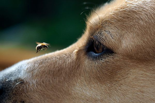 A bee landing on a dog's nose.