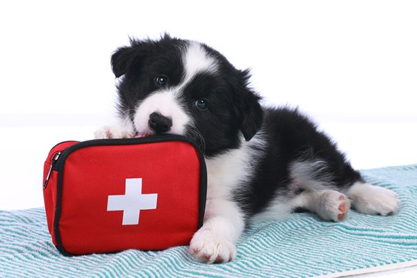 A black and white dog with a first aid kit.