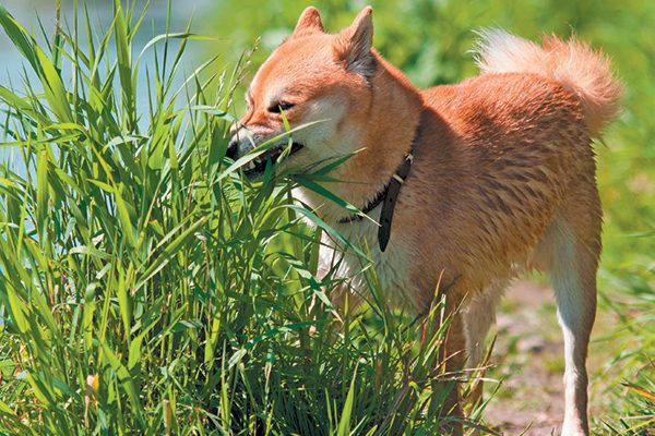 A dog eating grass. Photography by irontrybex/THINKSTOCK.