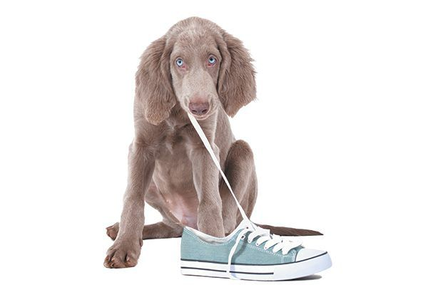 A pupping chewing on a shoe.