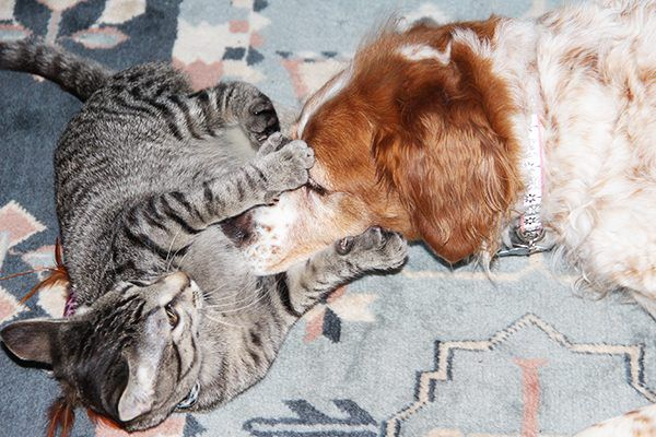 A cat and a Brittany dog.