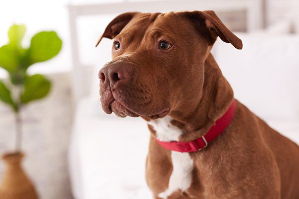 A photograph of a Pit Bull. Photography courtesy Zulily.