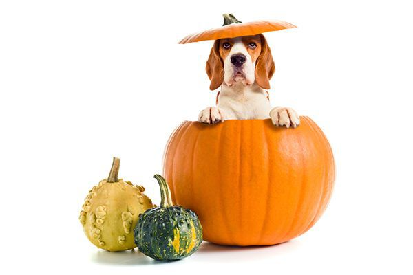 A dog popping out of a pumpkin.