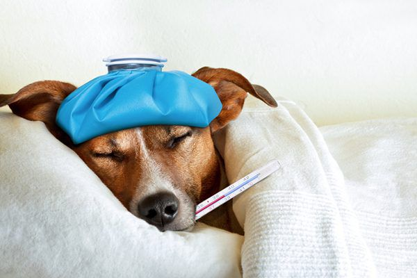 A sick dog with a thermometer in his mouth and an ice pack on his head.