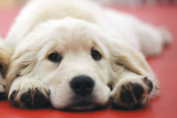 A Golden Retriever puppy relaxing on the floor.