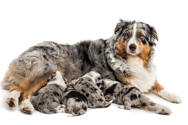 A nursing mother dog with puppies.