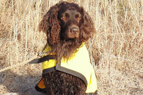 First-time dog owners might do well with Boykin Spaniels.