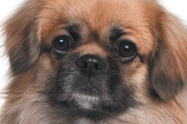 Tibetan Spaniels are flat-faced dogs.