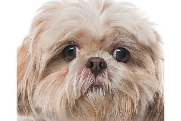 Shih Tzus are a flat-faced dog breed.