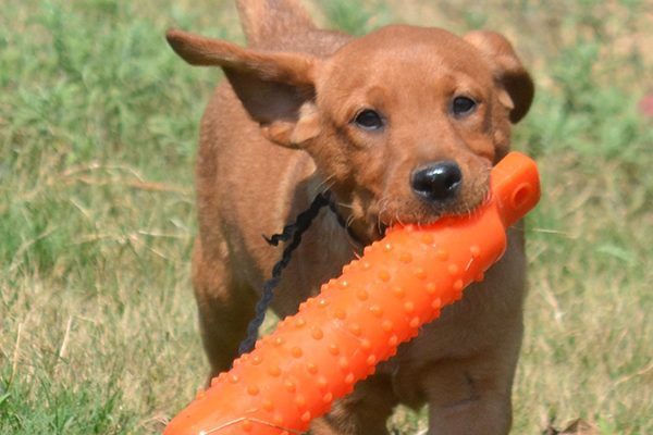 Of course Labrador Retrievers are among the best dogs for first-time owners!