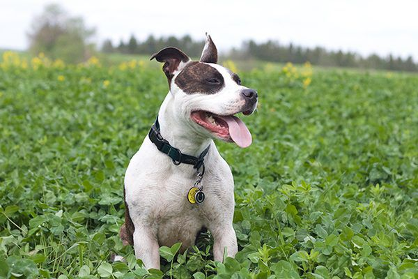 Pit Bulls are often the targets of Breed-Specific Legislation.