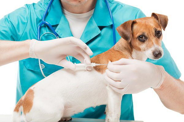 A dog getting microchipped.
