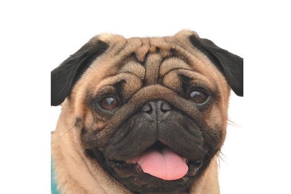 A pug's cute nose can spell out problems.