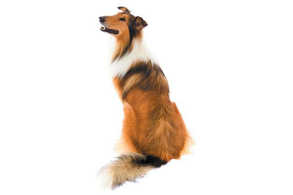 A Collie sitting down and look back.