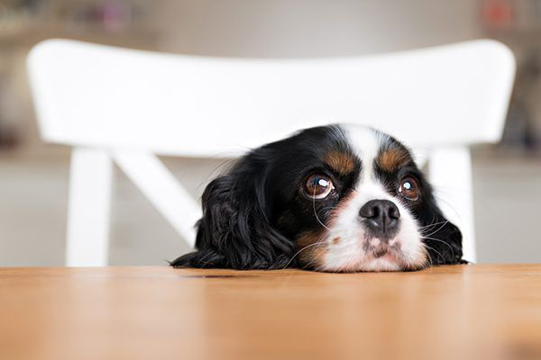 A dog sitting at the table looking hungry or bored.