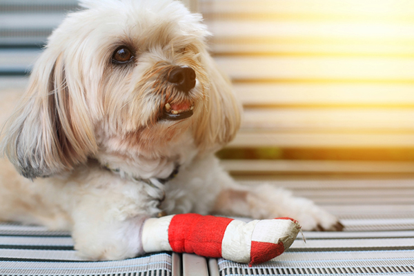 A hurt dog with his leg bandaged.