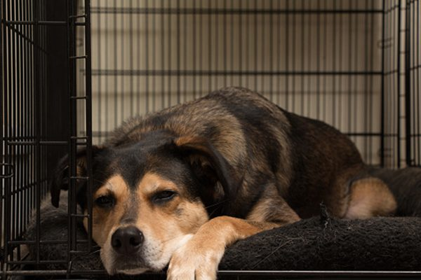 A large dog asleep in a crate.