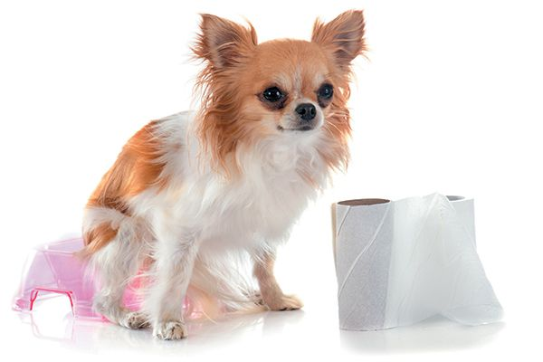 A small dog about to poop, potty training with a roll of toilet paper.