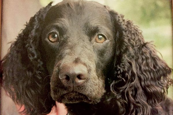 The American Water Spaniel is one of the healthiest dogs.