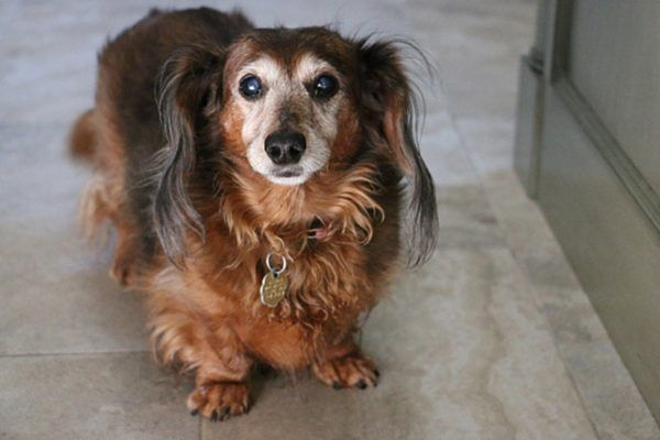 Cataracts in a small, older dog.