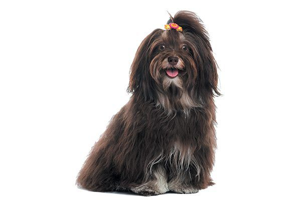 A black Havanese dog.