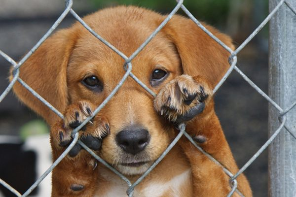 A scared, sad dog behind a fence or in a cage.