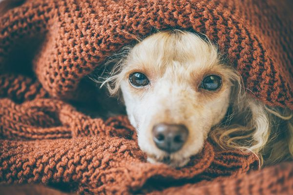 A sick dog curled up in a blanket.