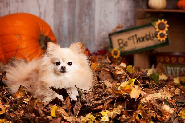 A small dog with Thanksgiving fall decor.