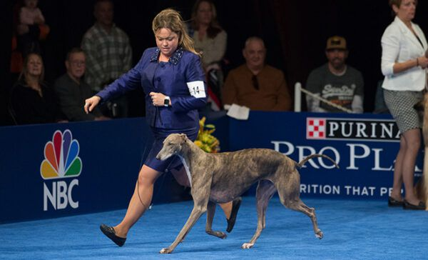 2016 Best in Show winners Handler Rindi Gaudet and her outstanding Greyhound, Gia, doing what they do best at the 2016 National Dog Show presented by Purina.