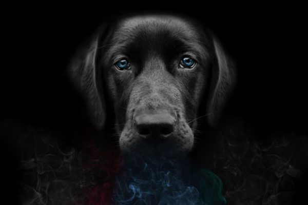 Labradors are bred to be Vapor Wake dogs.
