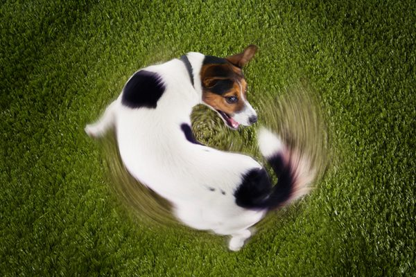 A dog chasing his tail.