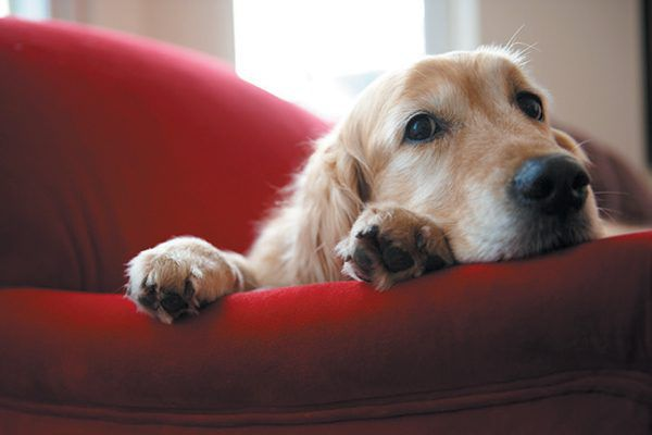 A golden dog sleeping on a couch.