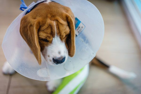 Beagle with a surgery collar on.