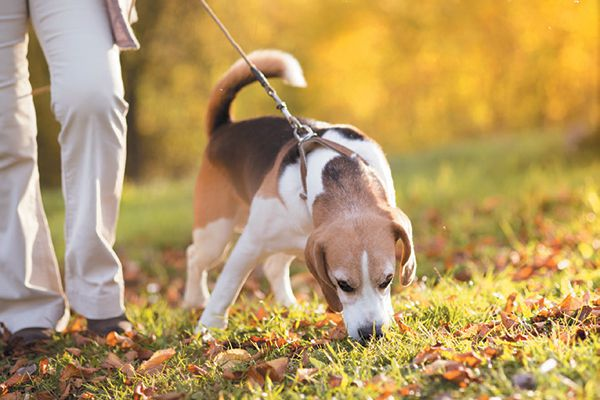 A beagle sniffing while out on a walk.