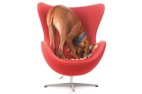A dog digging or scratching in a chair or bed.