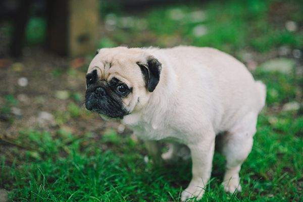 A worried or scared pug squatting or pooping.